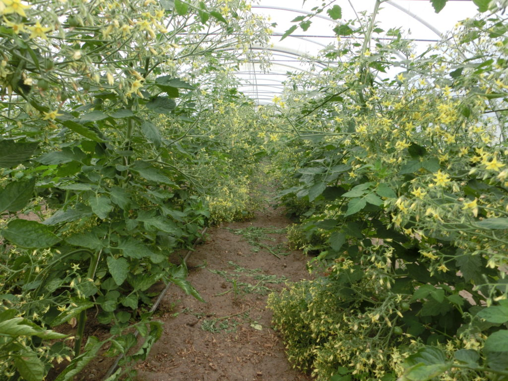 Tomaten-Blütenmeer