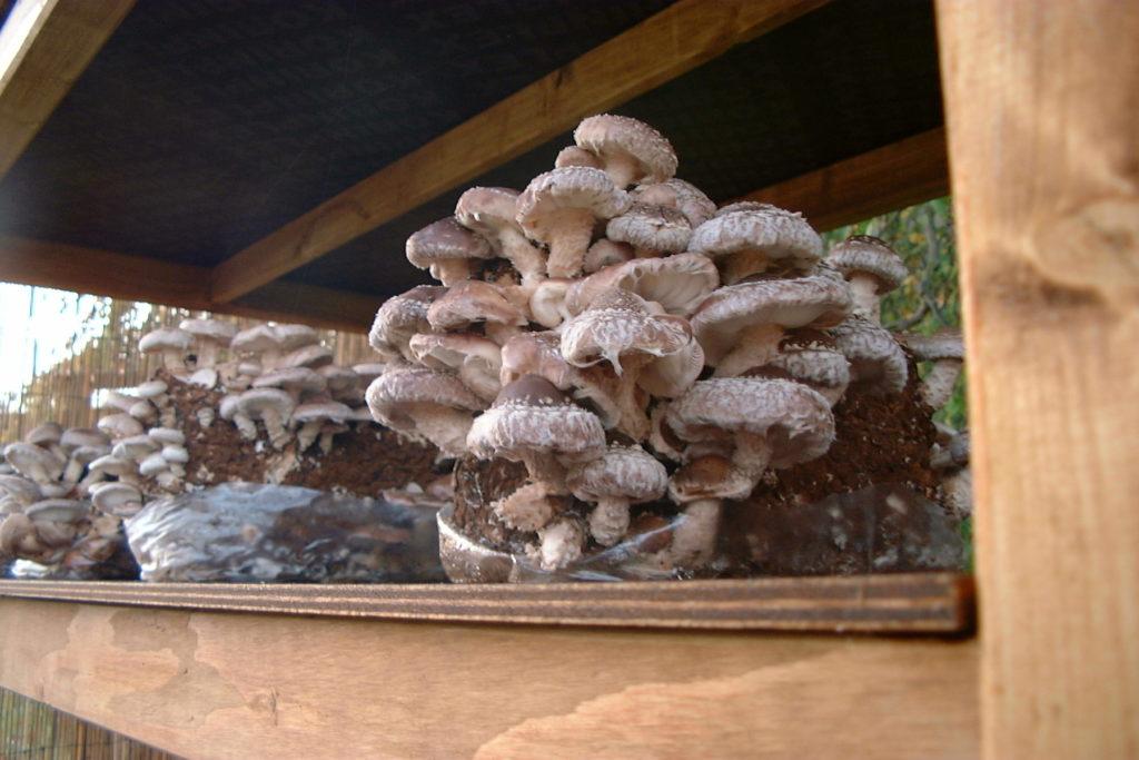 Ab und Zu haben wir auch wertvolle Pilze aus eigener Zucht im Hofladen.