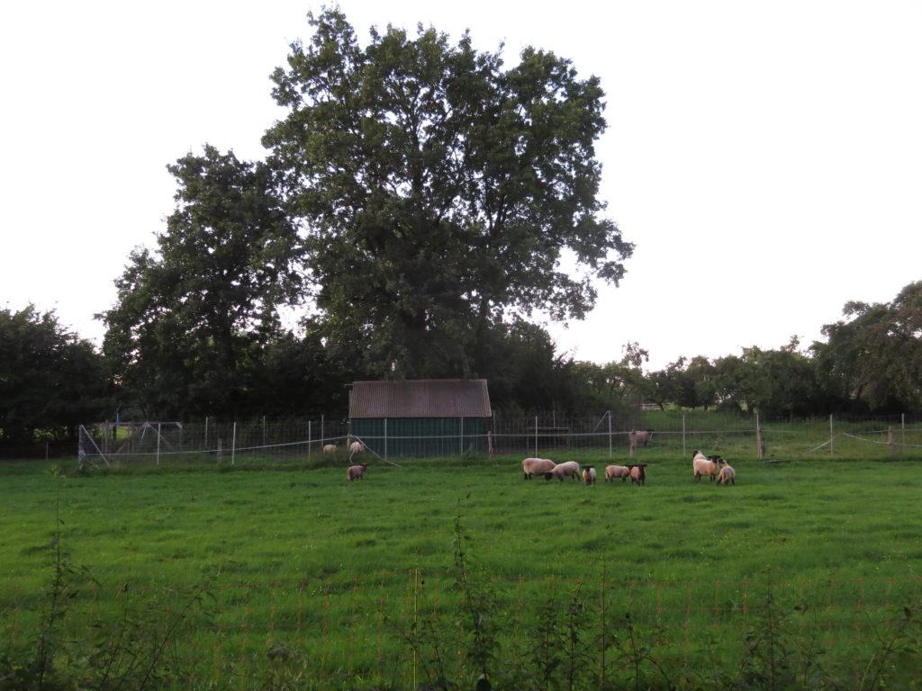Herde? Horde... wenn mein Bruder nicht da ist muss ich die Schafe füttern.  ...die sind gefährlich, echt...