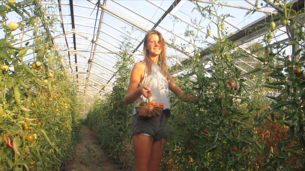 Am späten Nachmittag ist die beste Zeit zum Ernten, die Tomaten sind trocken und haben die Sonne des Tages zum Reifen genutzt.