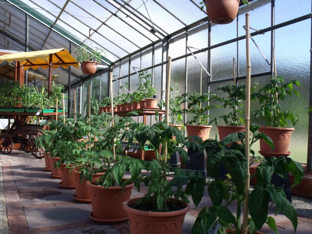 Toll, wenn du es versäumt hast für deinen Balkon eine Tomate zu säen oder eine Jungpflanze zu ersteigern haben wir für dich eine fertige Topftomate.