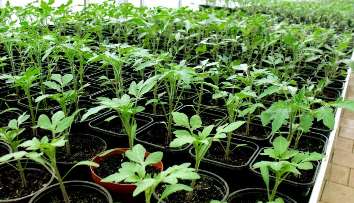 junge tomaten