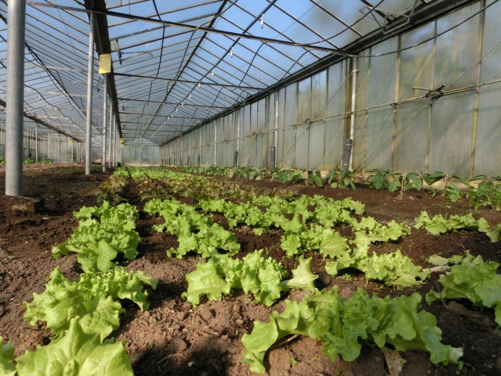 Sehr beliebt! Hier seht ihr das frühe Stadium der Kleverhof Salat, die ihr so liebt.