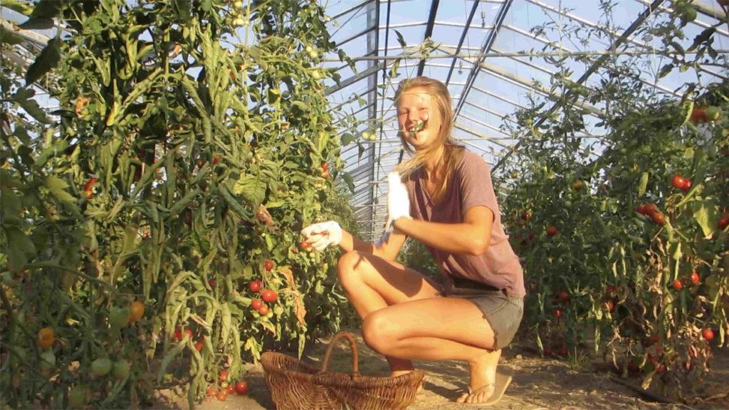 Im Juli ist die Ernte am einfachsten, da sind die reifen Tomaten noch in Bodennähe
