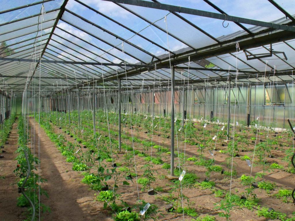 Früh im Jahr stehen Salate neben den Tomaten.