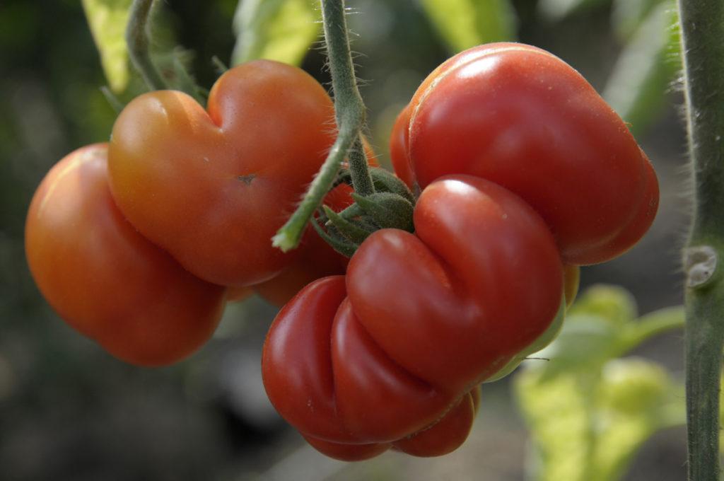 Perfekte Snack Tomate für unterwegs